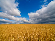 Rye field and dramatic sky. Landscape with cornfield under dramatic leaden sky. Wide angle shot royalty free stock photos
