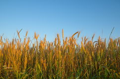Rye field. Ears of rye against the blue sky in sunset stock photo
