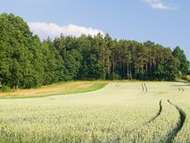 Rye field and forest in sunlight Royalty Free Stock Photography