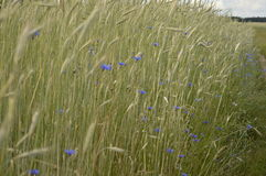 Rye field. Grain, rye, rye field, field with growing rye, green rye, rye cultivation stock image