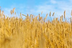 Rye field in late summer. Field of rye ready to be harvested, shallow depth of field Stock Image