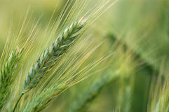Rye field in late summer Royalty Free Stock Photo