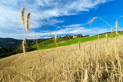 Rye field in late summer1. Field of rye ready to be harvested, shallow depth of field Royalty Free Stock Image
