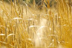 Rye field in late summer1. Field of rye ready to be harvested, shallow depth of field Stock Image