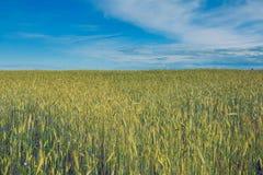 Rye field. Royalty Free Stock Photo