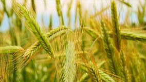 Rye in the field stock footage
