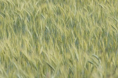 Rye field in the Netherlands Stock Photo