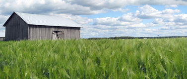 Rye field panorama Stock Image