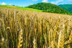 Rye Field in Poland Stock Images