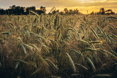 Rye field in Poland Royalty Free Stock Photography