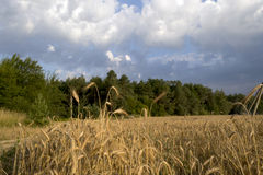 Rye. Field of ripe rye and blue sky Stock Photography