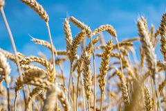 Rye field. Ripe grain spikelets. Cover crop and a forage crop. Blue sky background. Agricultural concept. Gramineae Stock Image
