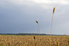 Rye. Field of ripe rye on sky backgrounds Stock Images