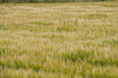 Rye in field. Ripening ugly faces in the summer in the field Stock Image