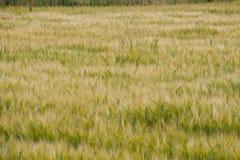 Rye in field stock image