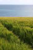 Rye field by the sea. End of the summer in ireland, plantation of the rye on the irish coast, cork county Stock Image