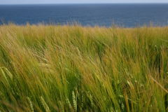 Rye field by the sea. End of the summer in ireland, plantation of the rye on the irish coast, cork county Royalty Free Stock Photography