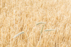 Rye field with spikes Royalty Free Stock Photos
