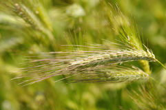 Rye field with spikes Royalty Free Stock Photo