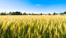 Rye field summer afternoon Royalty Free Stock Photography