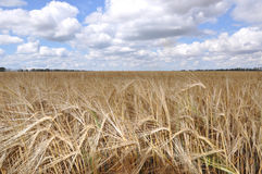 Rye field in a summer day Royalty Free Stock Images