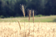 Rye field on summer day closeup Stock Photos