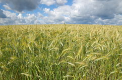 Rye field on a summer day Stock Images
