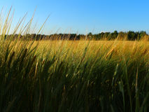 Rye field in summer day Stock Image