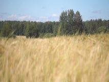 Rye field in summer. stock video footage