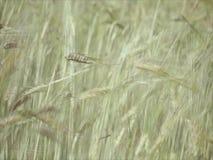 Rye field in summer. stock footage