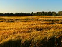 Rye field in summer Royalty Free Stock Photo