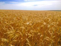 rye field in summer Royalty Free Stock Images