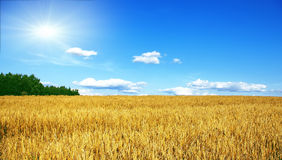 Rye field with sun. Rye field in a sunny day with dark blue sky Royalty Free Stock Photography