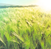 Rye field in the sun. Spring crop field, Cereals plants and blue sky royalty free stock image