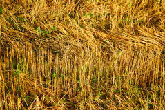 Rye field in a sunny day Royalty Free Stock Image