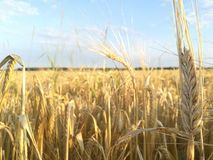 Rye field. On a sunny day royalty free stock photography