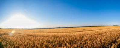 Rye field in a sunny day. With light blue sky panorama Royalty Free Stock Photo