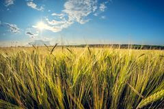 Rye field on a sunny summer day royalty free stock photos