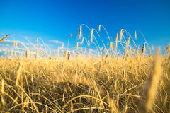 Agricultural background with ripe spikelets of rye. Stock Photography