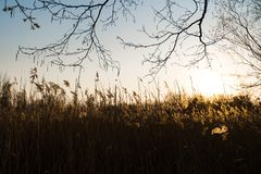 Rye field during a sunset with beautiful sun shinning in the background royalty free stock images