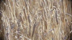 Rye field on sunset stock video footage