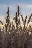 Rye field at sunset mature ears close-up on the background of sunset Stock Images