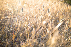 Agricultural background with ripe spikelets of rye. Royalty Free Stock Photos