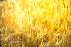 Agricultural background with ripe spikelets of rye. Stock Photo
