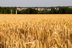 Rye field with two towers stock image