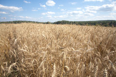 Rye field under blue sky with clouds on summer day closeup Royalty Free Stock Image