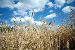 Rye field under blue sky on summer day closeup Stock Photo