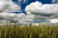 Rye Field Under Cloudy Sky Stock Image
