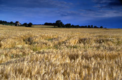 Rye field under a deep blue cloudy sky - visible grain. Yellow rye field blurred by wind under a deep blue cloudy sky with a distant farm house and grove Stock Photo