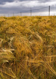 Rye field under dramatic sky. Yellow rye field disturbed by wind; under a dramatic cloudy sky Stock Photos